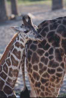giraffe-and-mom.jpg (10881 bytes)